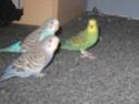 Évolution de mes petits oiseaux :) Img_8910