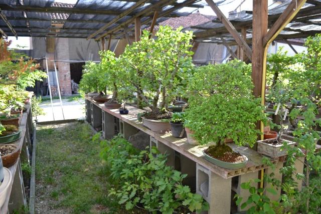 Dove coltiviamo i nostri bonsai - Pagina 3 Dsc_0116