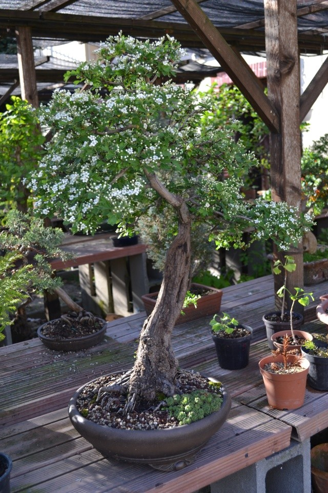Dove coltiviamo i nostri bonsai - Pagina 3 Dsc_0122