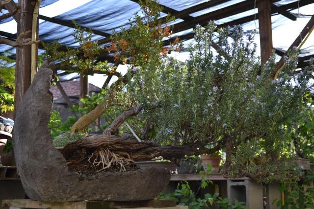Dove coltiviamo i nostri bonsai - Pagina 3 Dsc_0123