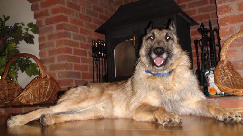 Gino - Belgian Shepherd, Dog (1 year old) Dsc00711