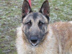 Gino - Belgian Shepherd, Dog (1 year old) Gino111