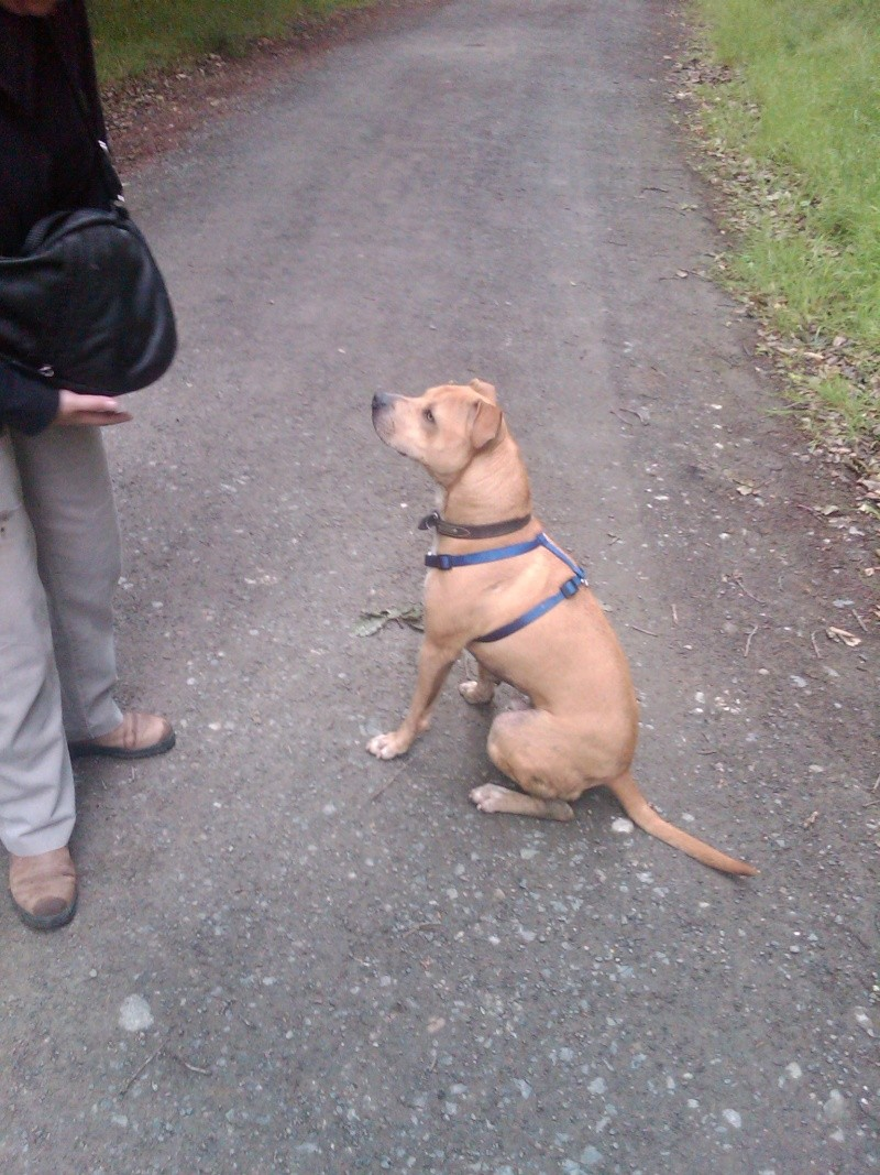Baz - Staffie Lab X, Dog (3-4 Years)  Img00013
