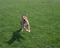 Baz - Staffie Lab X, Dog (3-4 Years)  Baz210