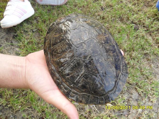 identification d'une tortue Sam_0714