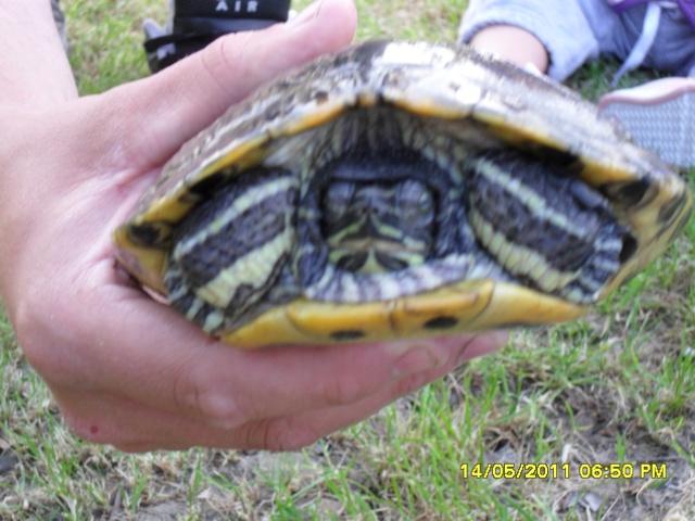 identification d'une tortue Sam_0715