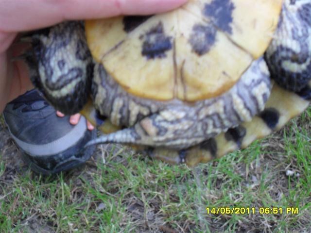 identification d'une tortue Sam_0716