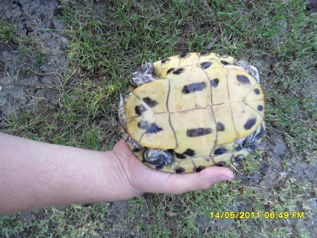identification d'une tortue Sam_0717