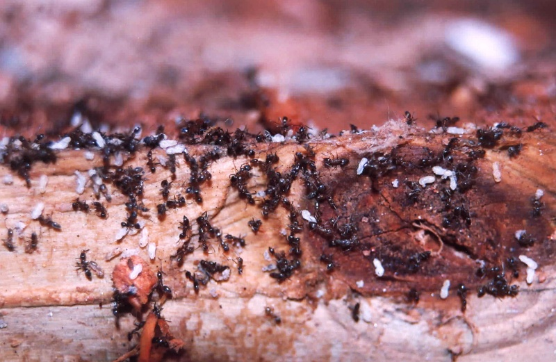 ants carrying some kind of larvae - help! Starti10
