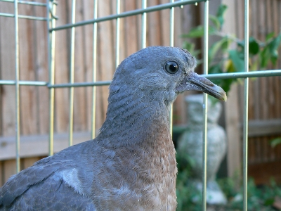 How old is this pigeon? And what should I be doing? Squab_10