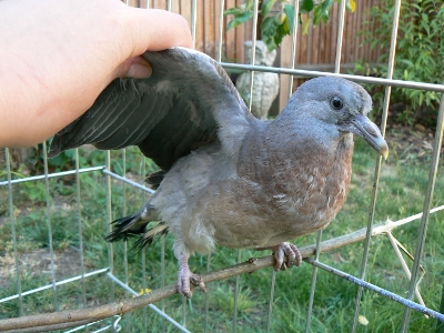 How old is this pigeon? And what should I be doing? Squab_12