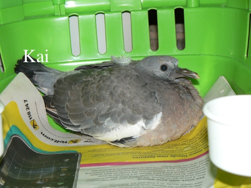 How old is this pigeon? And what should I be doing? Squabb10