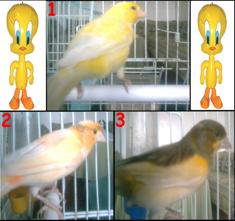je veux connaitre la race de ces trois canaris Canari14