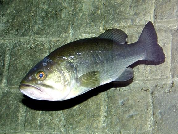Introducción a la pesca del Black Bass con lombriz de vinilo Blackb10