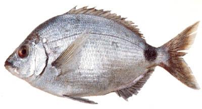 Pesca del sargo con boya o flotador Sargo_10