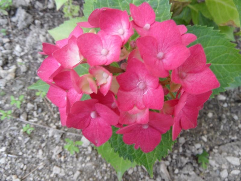 Hydrangea   Hortensia des jardins - Page 2 09010