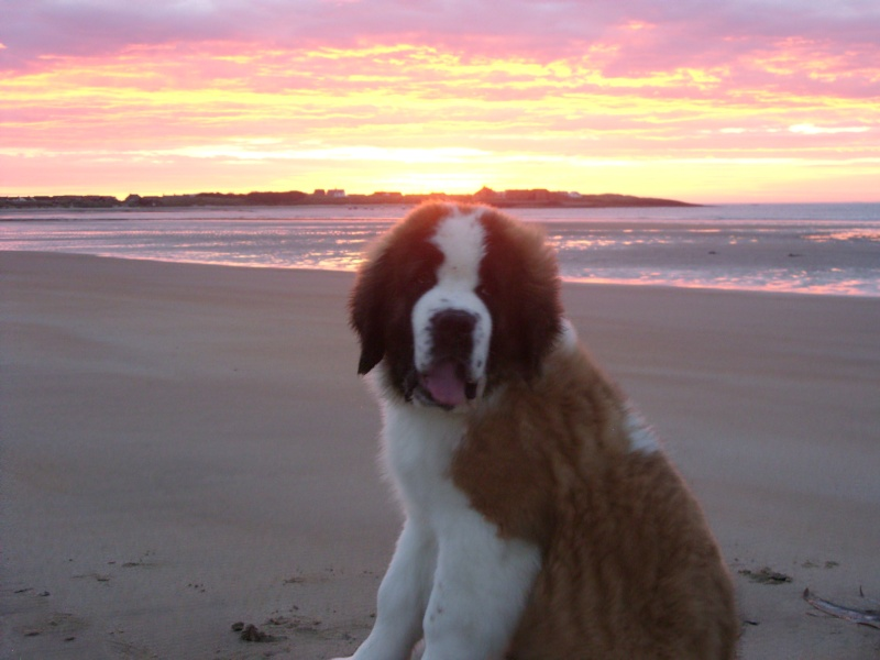 Sunrise and St Bernard(and Border Collie) 02910