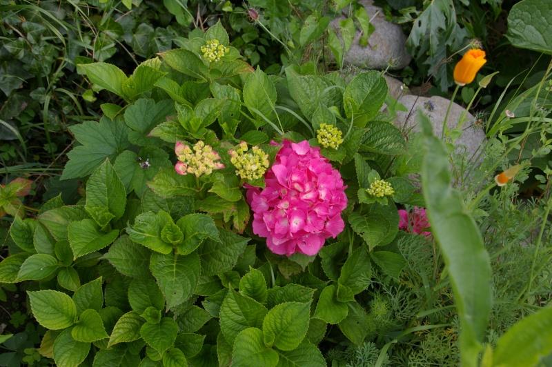 Hydrangea   Hortensia des jardins - Page 2 Imgp7414