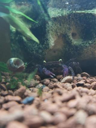 Transfert Paludarium 30L à 54L (crabes vampires)  Img_2037