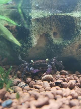 Transfert Paludarium 30L à 54L (crabes vampires)  Img_2038