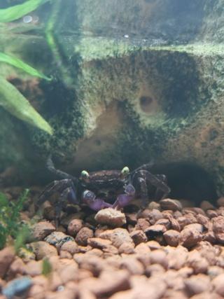 Transfert Paludarium 30L à 54L (crabes vampires)  Img_2039