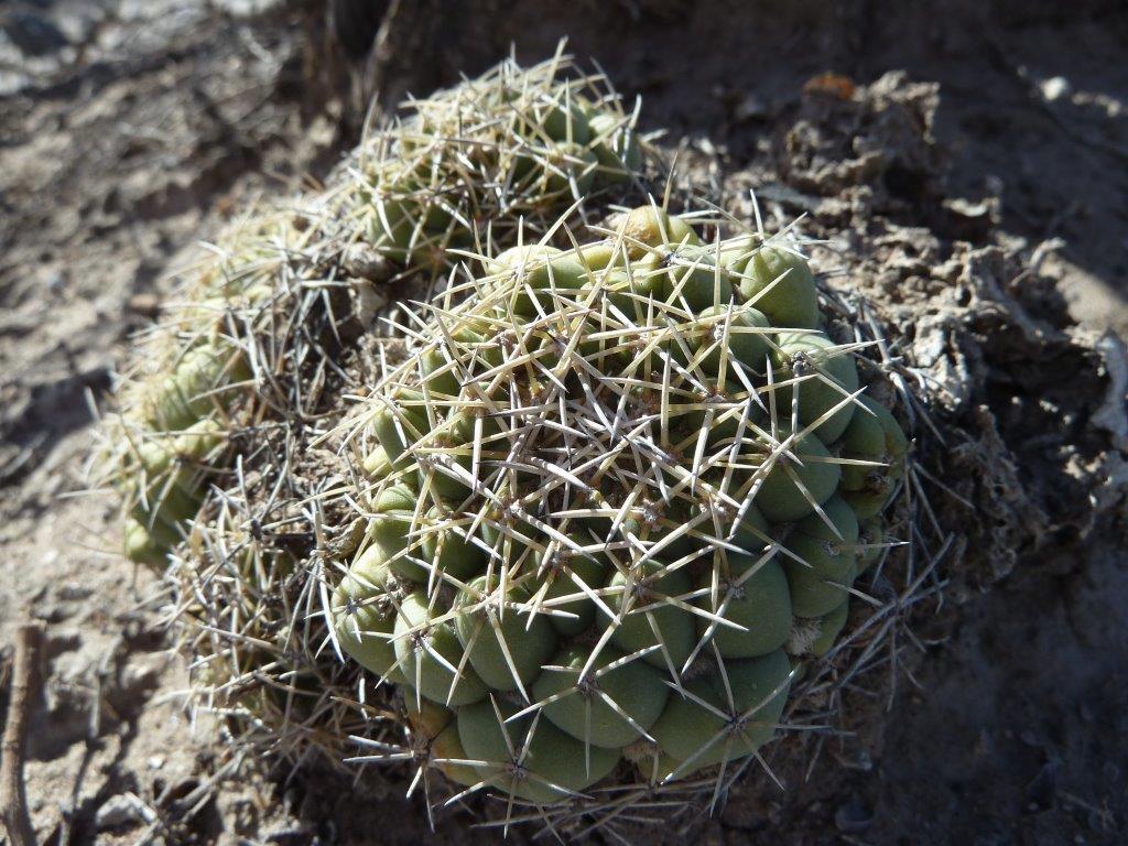 Coryphantha maiz-tablasensis 20_04_13