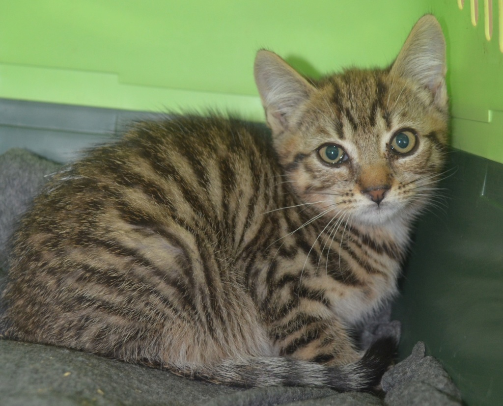 Colette, femelle type européen tigrée née le 15/06/2019 Colett10