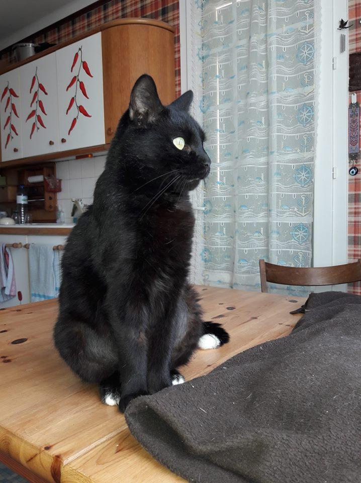 Maurice (ex Osiris), mâle type européen noir et blanc angora né le 05/09/2018 Maman_10