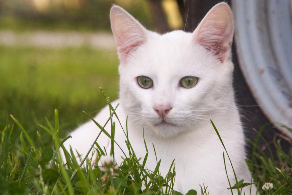 Mitsi, mâle tye européen blanc né le 20 septembre 2017 - Page 3 Mitsi-10