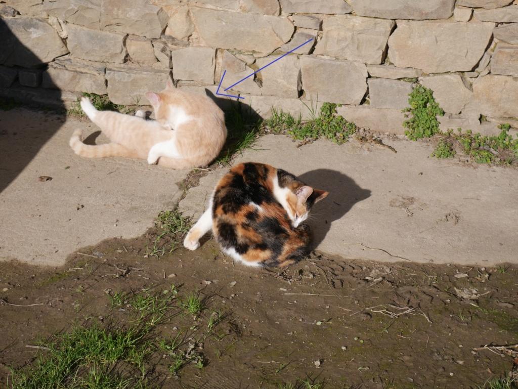 Chats déjà sortis du site de stérilisation en isolement / convalescence Mzele_13