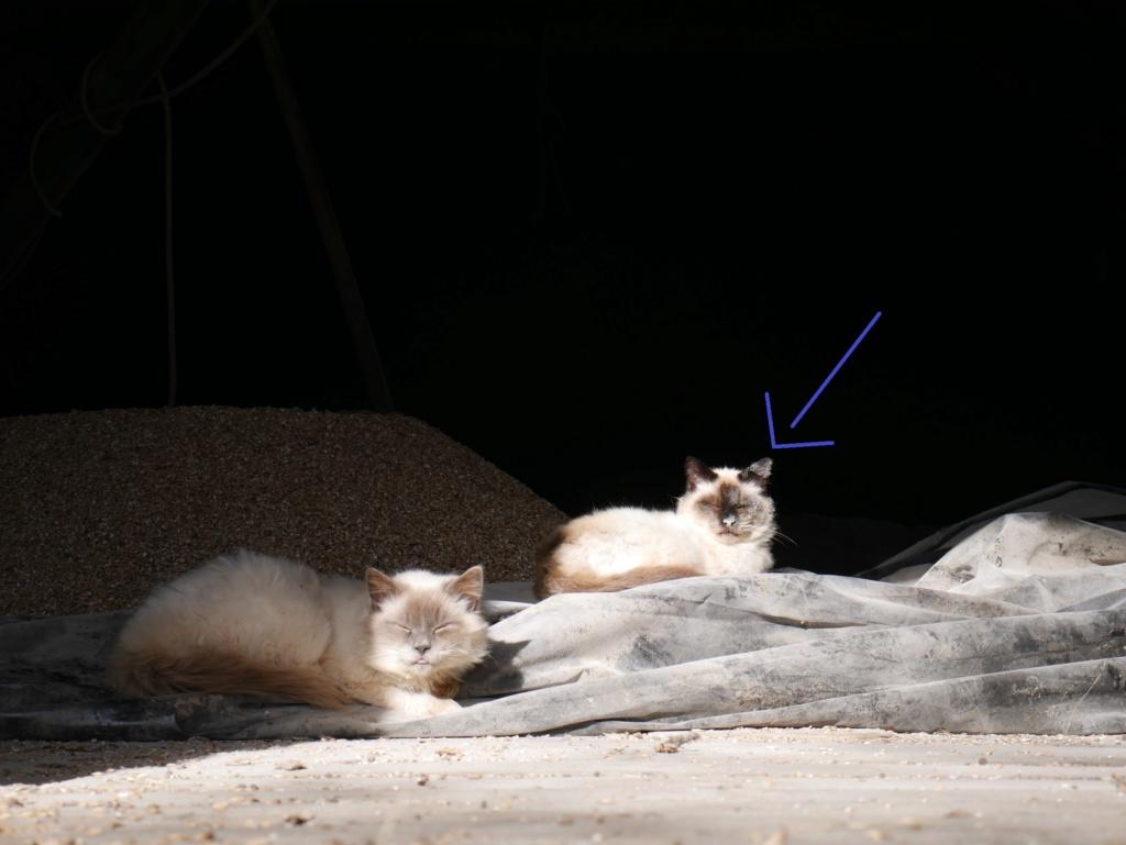 Chats déjà sortis du site de stérilisation en isolement / convalescence Mzele_16