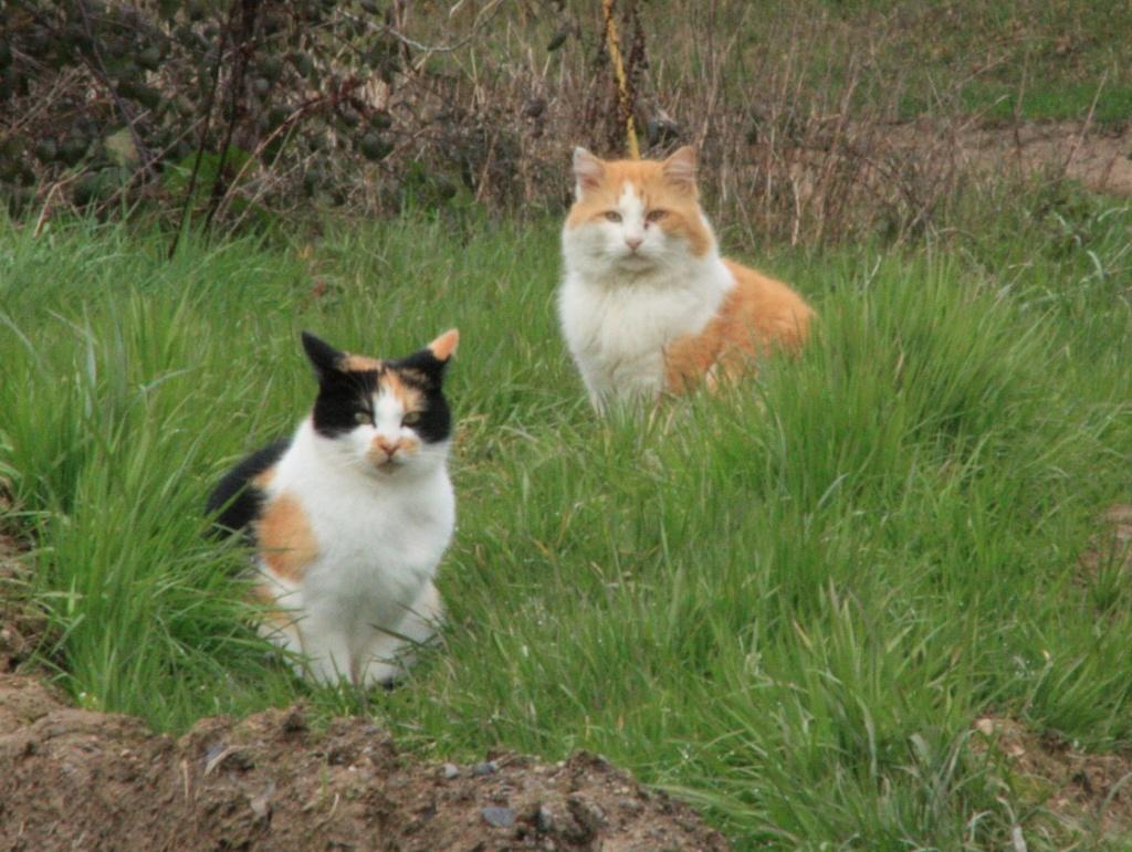 Chats déjà sortis du site de stérilisation en isolement / convalescence Mzele_20