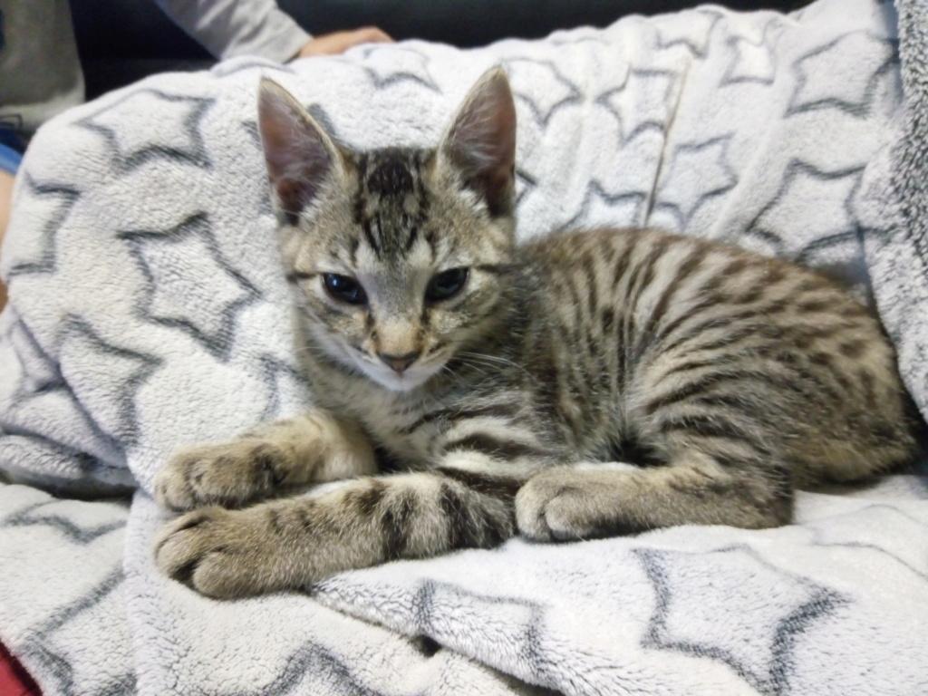 Pépico, mâle type européen tigré né le 11 juillet 2019 P_201922