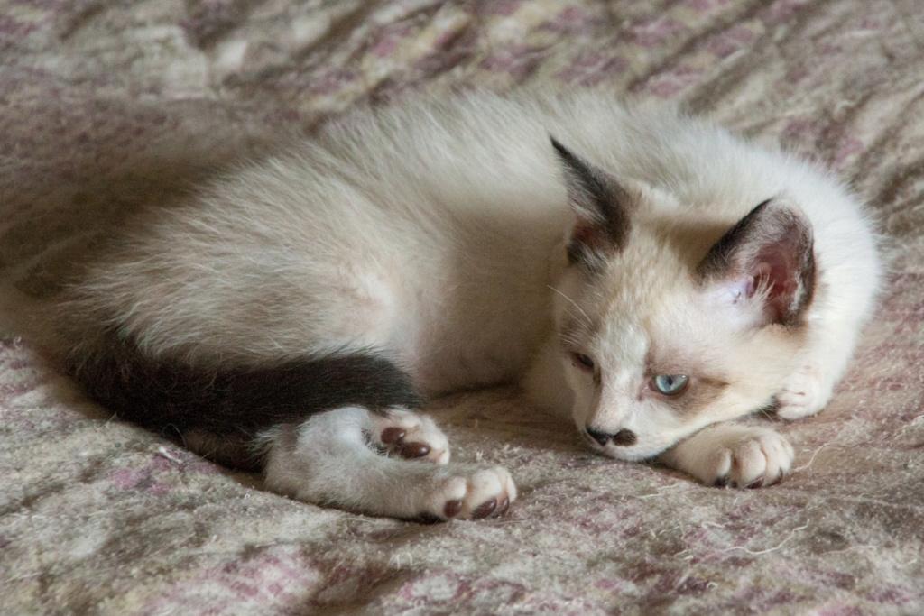 Piccolo, mâle type européen x siamois seal point et blanc né le 11 juillet 2019 Pantou11