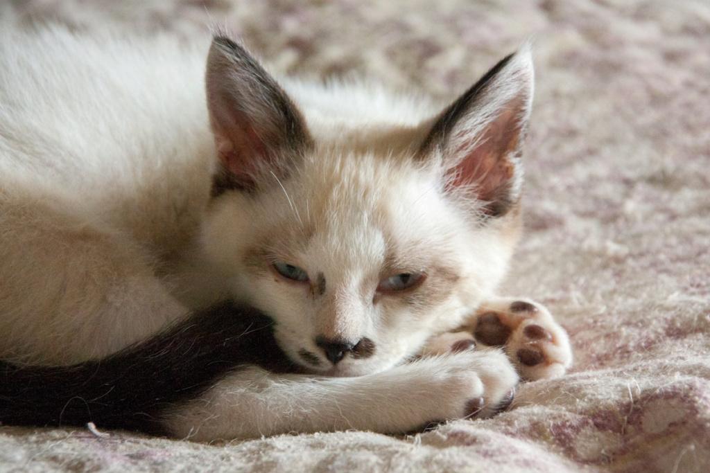 Piccolo, mâle type européen x siamois seal point et blanc né le 11 juillet 2019 Pantou12
