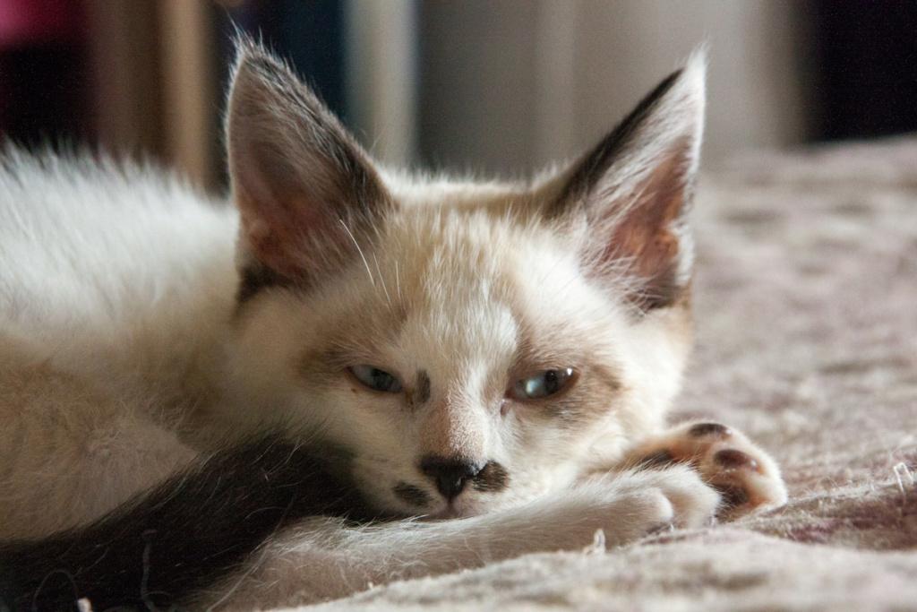 Piccolo, mâle type européen x siamois seal point et blanc né le 11 juillet 2019 Pantou13