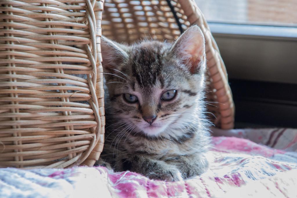 Pépico, mâle type européen tigré né le 11 juillet 2019 Pepico10
