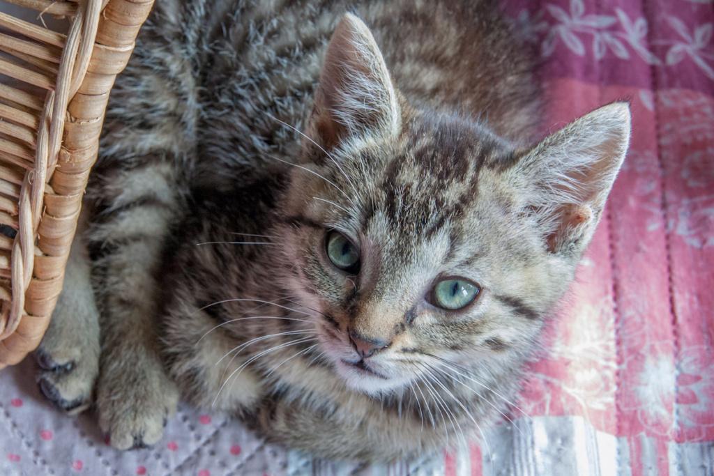 Pépico, mâle type européen tigré né le 11 juillet 2019 Pepico11