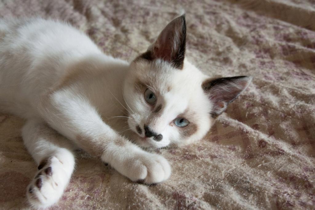 Piccolo, mâle type européen x siamois seal point et blanc né le 11 juillet 2019 Piccol11