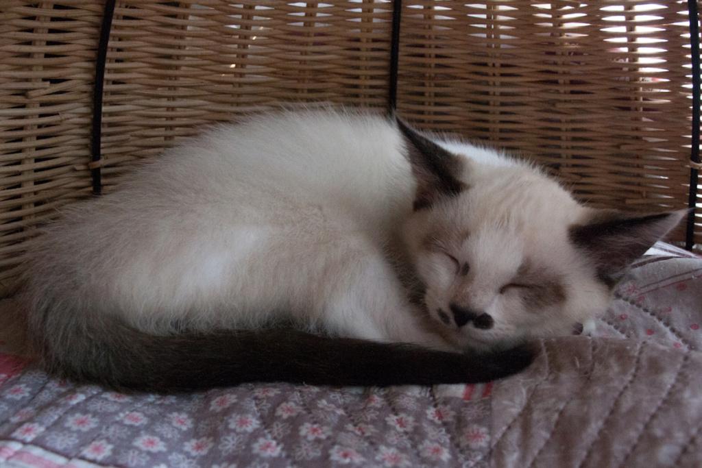 Piccolo, mâle type européen x siamois seal point et blanc né le 11 juillet 2019 Piccol13