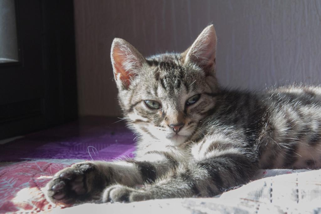 Pépico, mâle type européen tigré né le 11 juillet 2019 Pzopic10