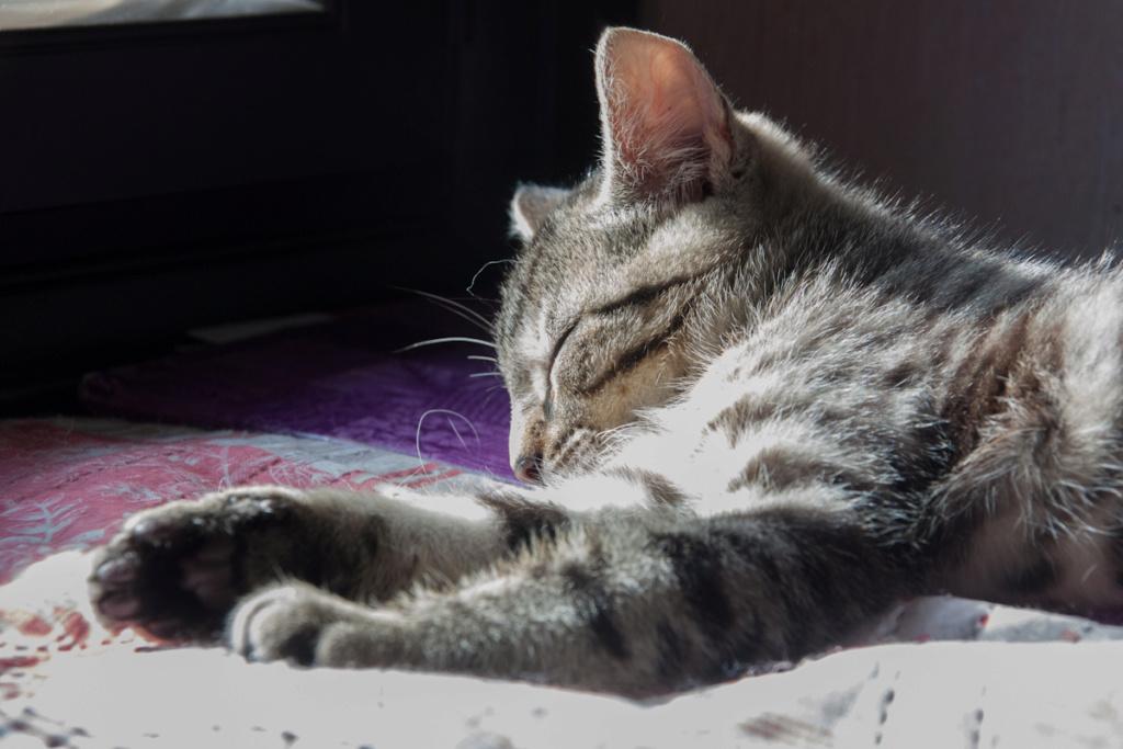 Pépico, mâle type européen tigré né le 11 juillet 2019 Pzopic11