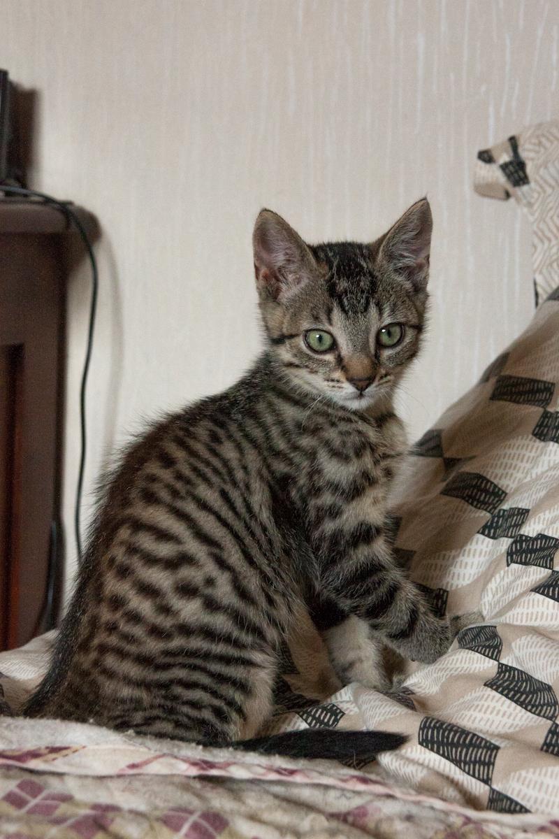 Pépico, mâle type européen tigré né le 11 juillet 2019 Pzopic12
