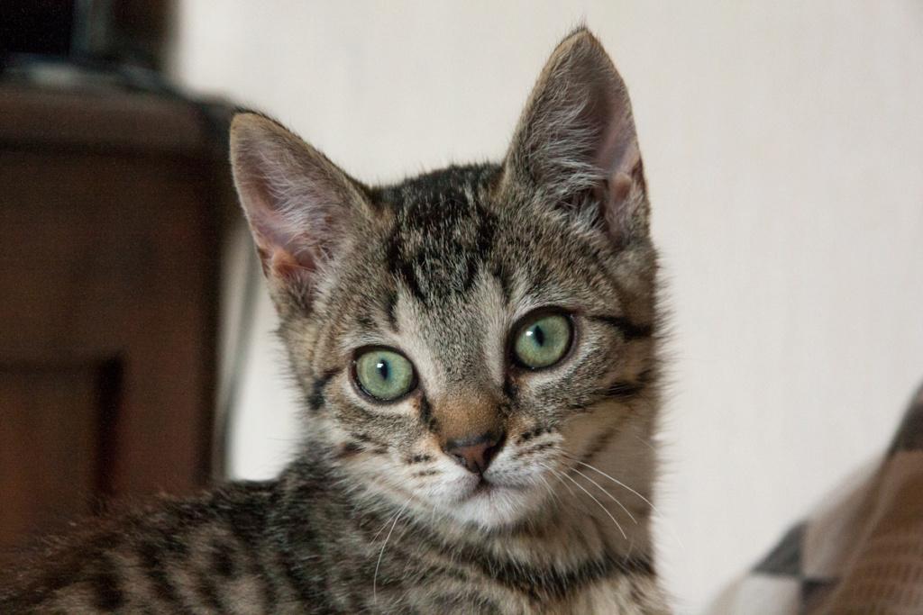 Pépico, mâle type européen tigré né le 11 juillet 2019 Pzopic13