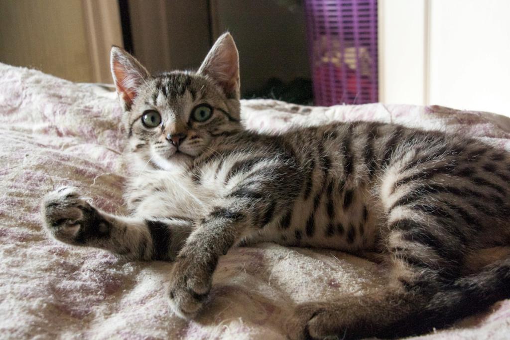 Pépico, mâle type européen tigré né le 11 juillet 2019 Pzopic14