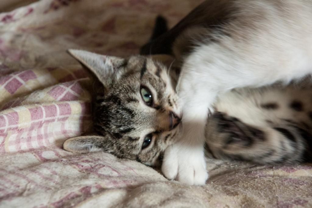 Pépico, mâle type européen tigré né le 11 juillet 2019 Pzopic15