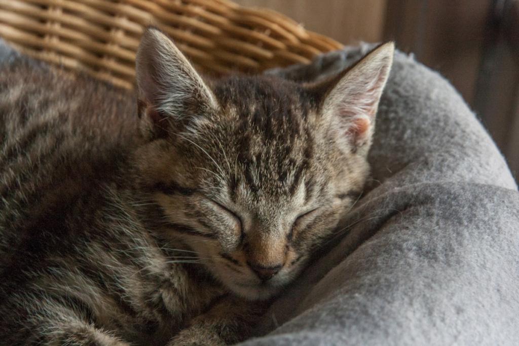 Pépico, mâle type européen tigré né le 11 juillet 2019 Pzopic18