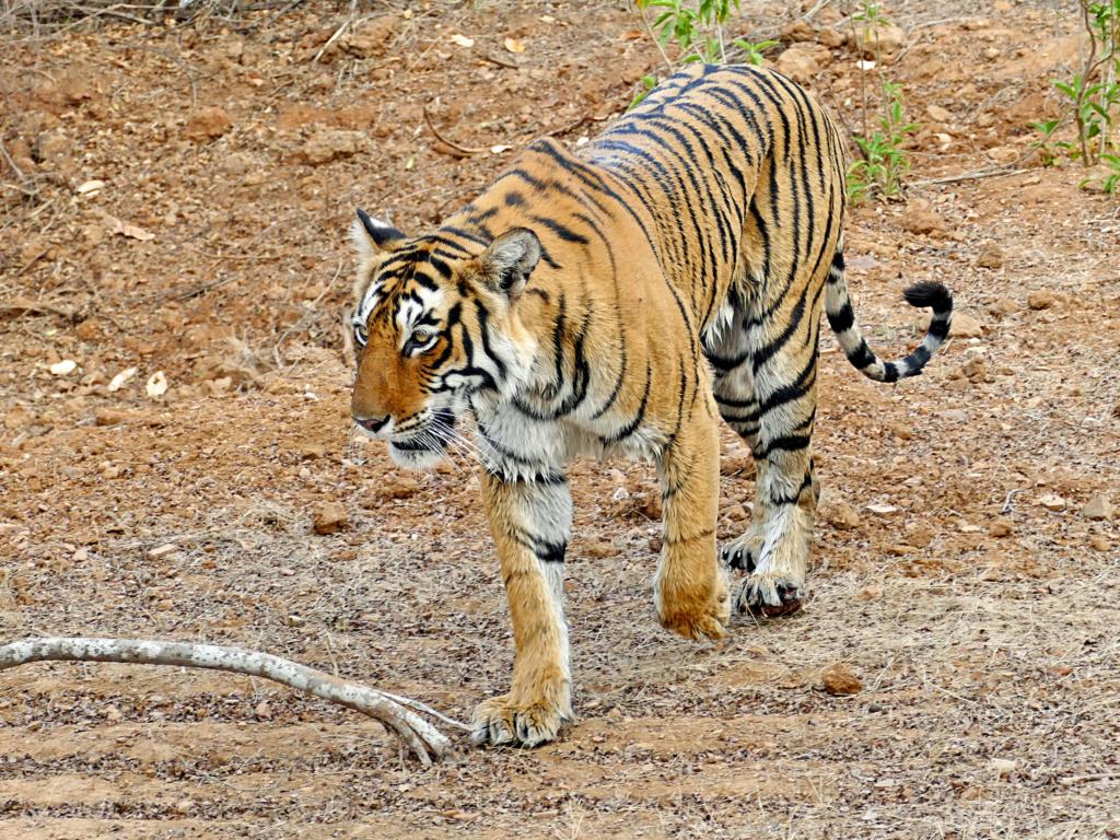 Un tigre Tigre_10