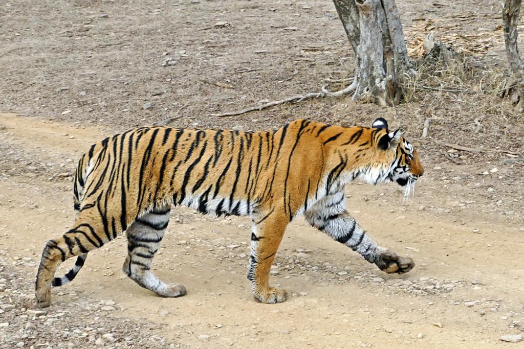 Un tigre Tigre_11