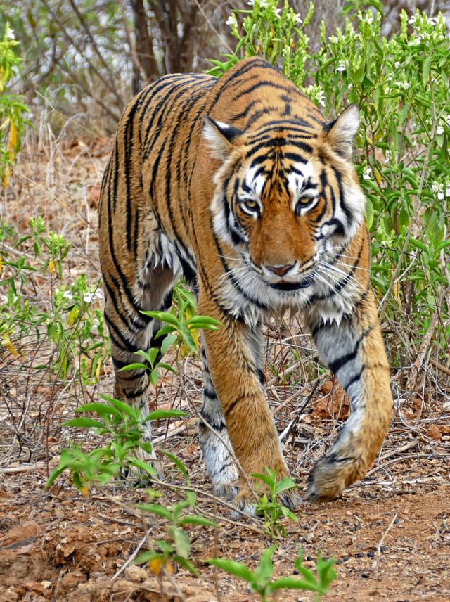 Un tigre Tigre_13